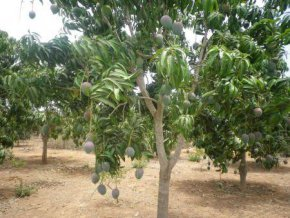 burkina-faso-la-production-de-mangue-s-est-chiffree-a-200-000-tonnes-en-2018